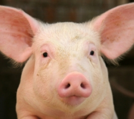 270x240 pig face istock