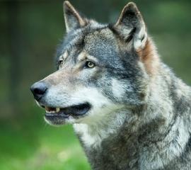 270x240 wolf gray istockphoto
