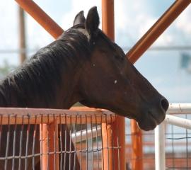 270x240 horse slaughter kmilani