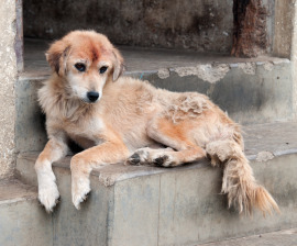 Bhutan street dog