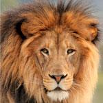 150x150-lion-istock