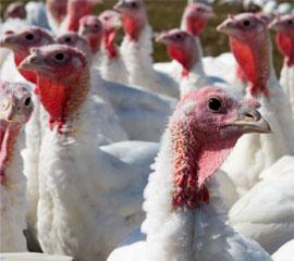 270x240-turkeys-istock