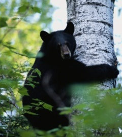 240x270 black bear in tree - stock