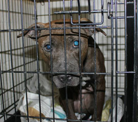 Rescued-dogfighting-pasquotank-co