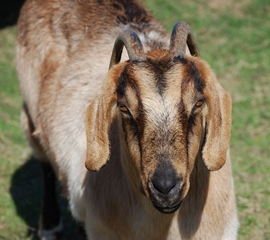 CABBR_FEB_13_GOAT_148869