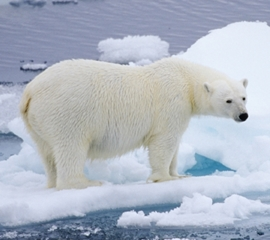 POLAR_BEAR_LOOKING_AT_OCEAN_76667