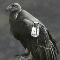 Condor303akaLucia
