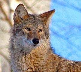 Coyote - John Harrison