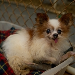 A Chihuahua that was rescued from Royal Acres Kennel in North Carolina