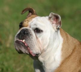 270x240 bulldog face istock
