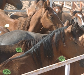 Horses bound for slaughter