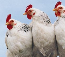 270x240 white chickens istock