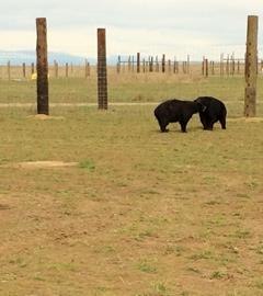 Bears enjoying their new home