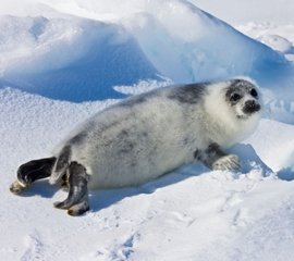 10-day-old harp seal