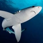 270x240 Blue Shark Alamy