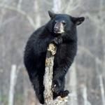 black bear istock