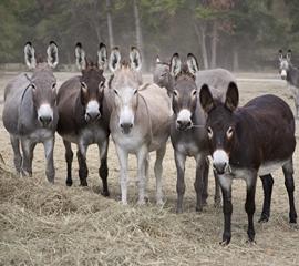 CABBR burro
