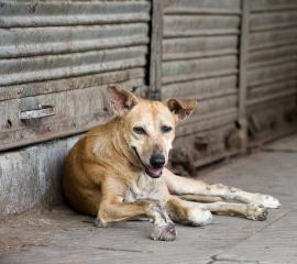 India Street Dog 270 x 240