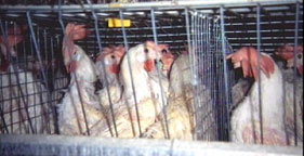 Egg-laying chickens in battery cages