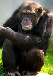 184x265_chimp_istock
