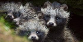 281x144_raccoon_dogs_lauri_sippu