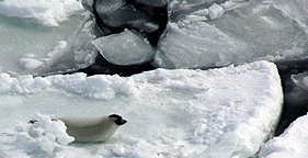 Harp seal on ice pan during Canada's seal hunt