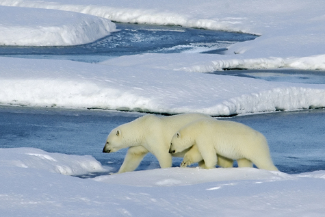 Polar bear and cub walking on ice pans