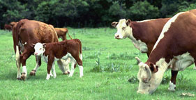 281x144_cows_grazing