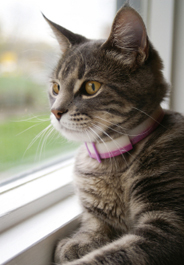 Gray tabby cat looking out window