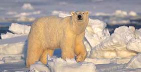 281x144_polar_bear