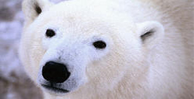 281x144_polar_bear_face