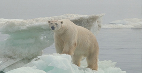 281x144_polar_bear_on_ice_2