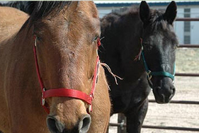 Brown and black horses rescued from slaughter by The HSUS