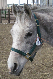Gray horse rescued from slaughter by The HSUS