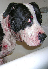 Black and white pit bull dog rescued from fight