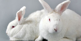 281x144_two_white_rabbits_i