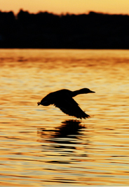 Duck flying at sunset