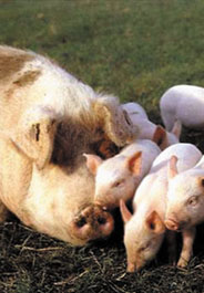 Mother pig with baby pigs