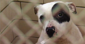 Black and white pit bull from Michigan dogfighting bust