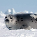 Harp seal at Canadian seal hunt