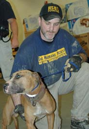 HSUS staff person with fighting pit bull dog at Ohio bust