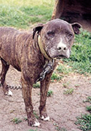 Brindle fighting pit bull chained in yard