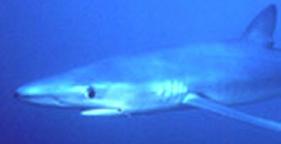 281x144_blue_shark