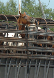 Trailer of horses bound for Mexico slaughter plant