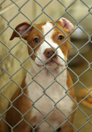 Brown and white pit bull dog in shelter