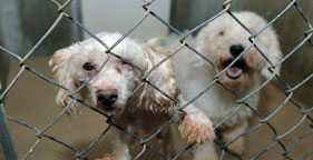 Two poodles rescued from Virginia puppy mill