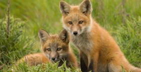 281x144_foxes_istock