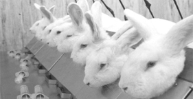 281x144_lab_rabbits