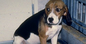281x144_beagle_research