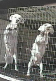 Two breeding dogs at a puppy mill